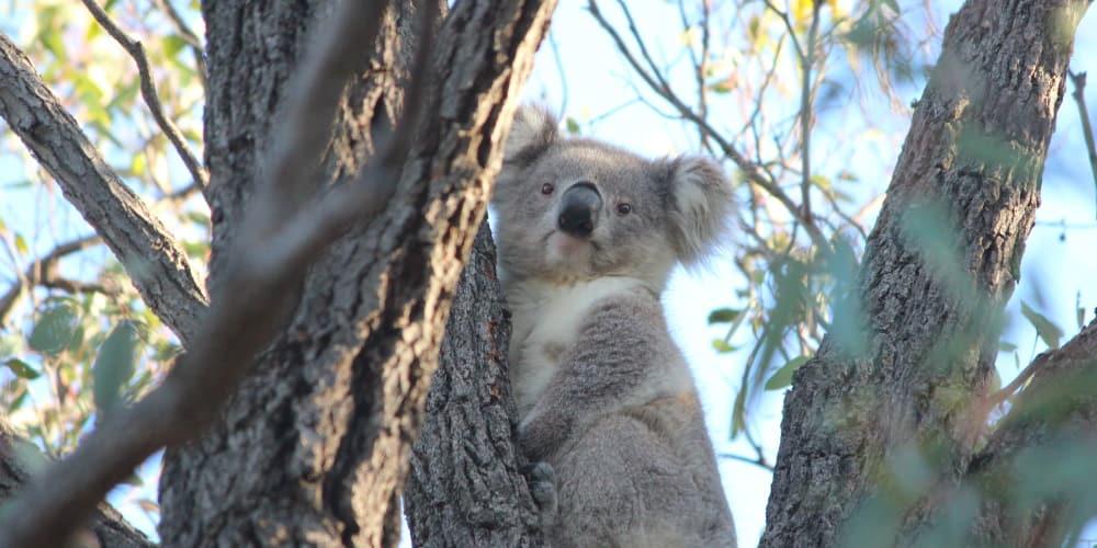 Young koala in Ironbark tree