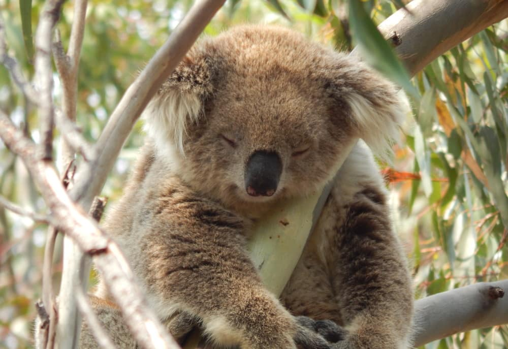 sleeping koala hands down