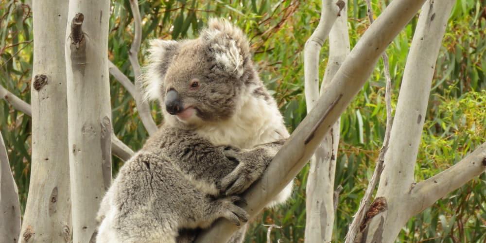 smiling koala side view