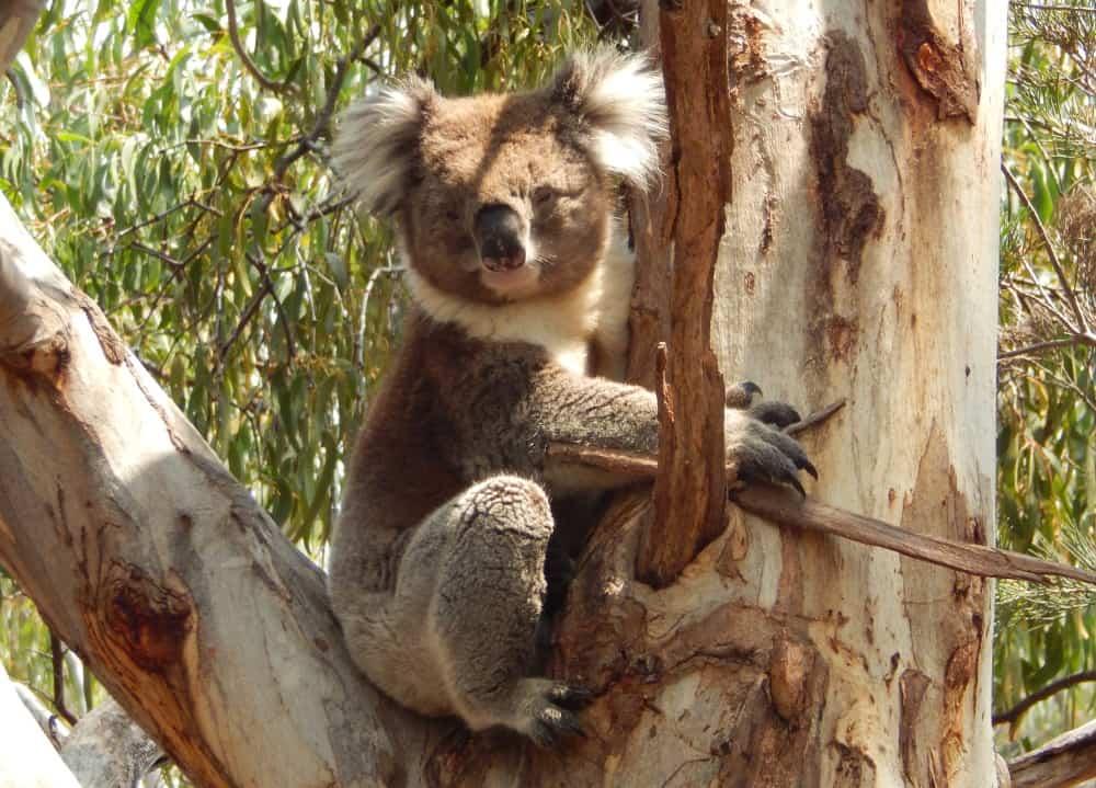 male koala 2020