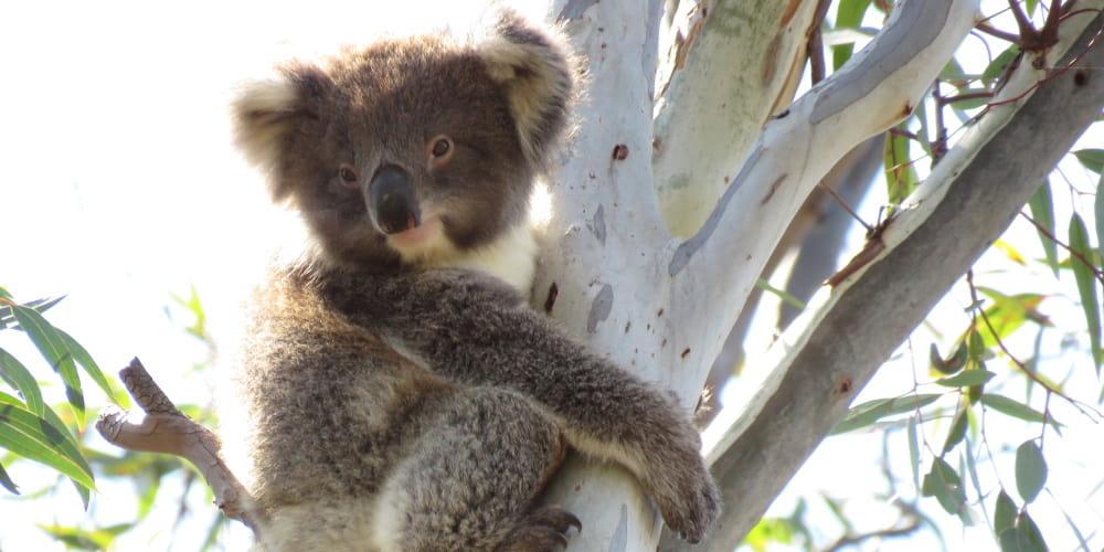 koala joey You Yangs