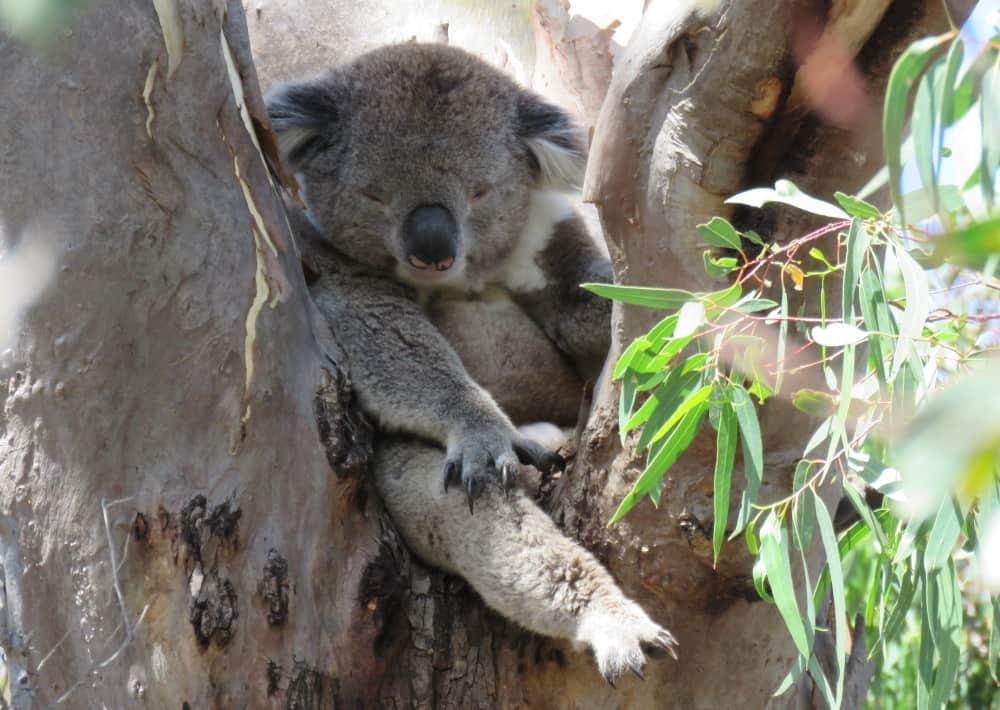 mature male koala funny position