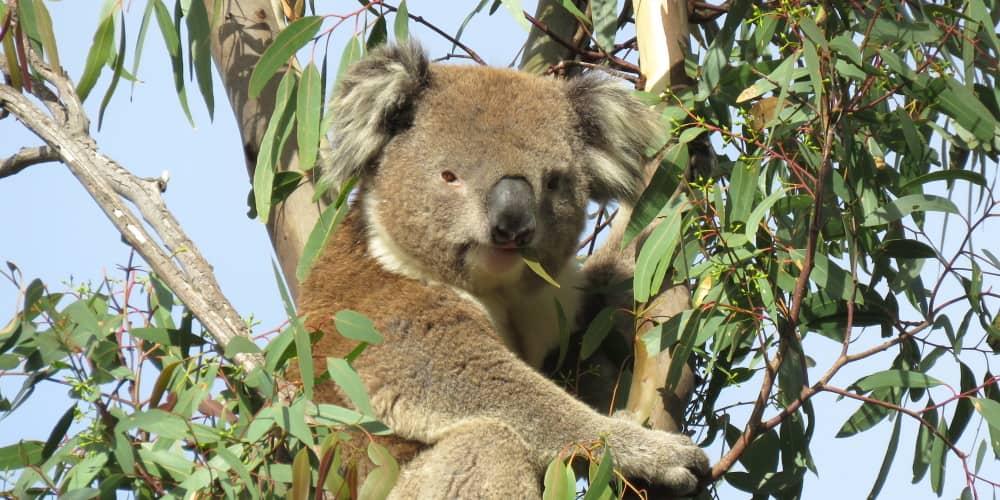 male koala leaf in mouth