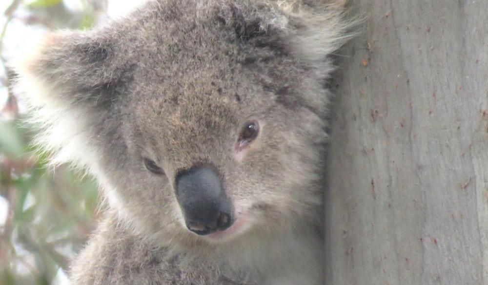 old female koala face