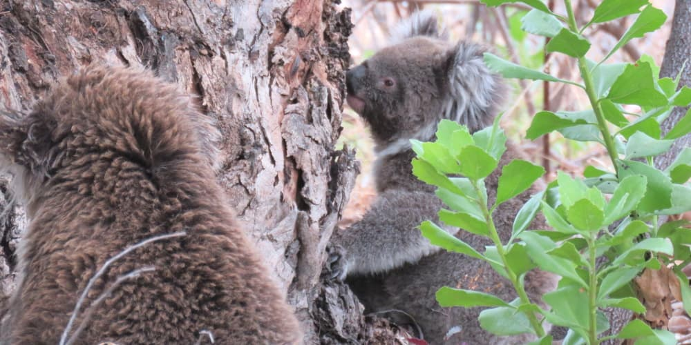 two koalas on ground together
