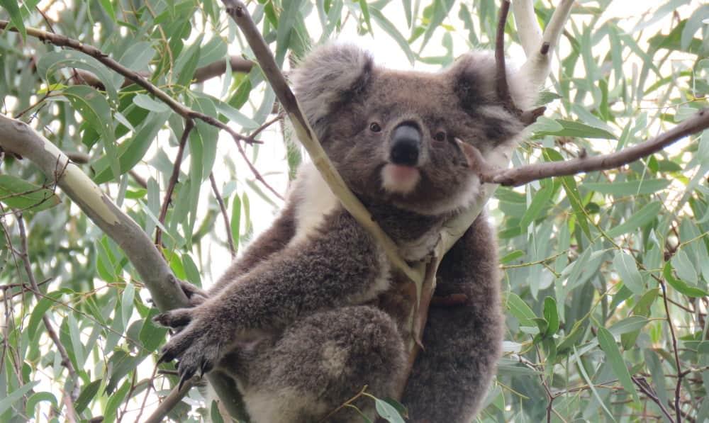 young female koala looking