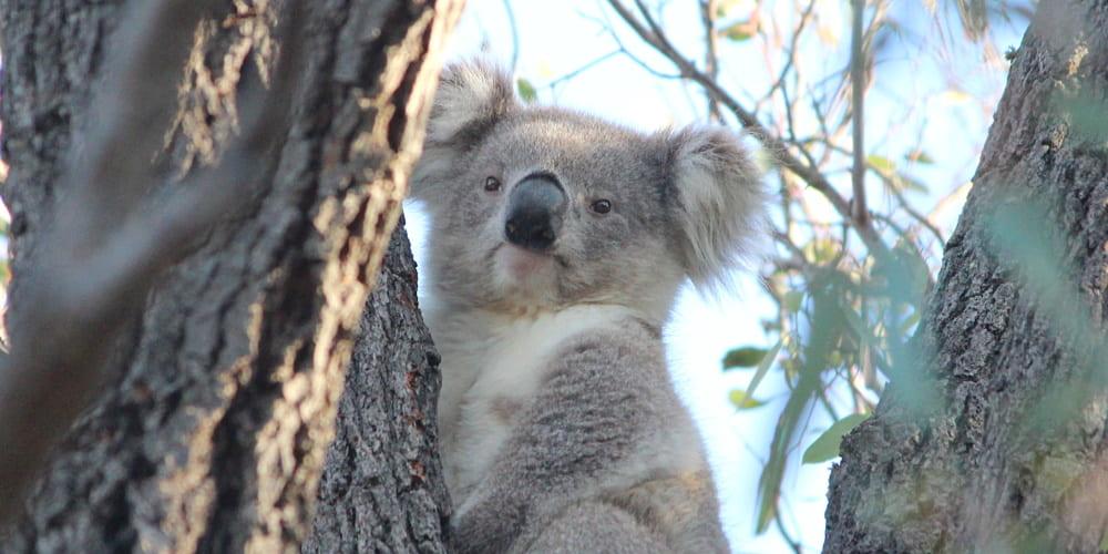blonde koala joey