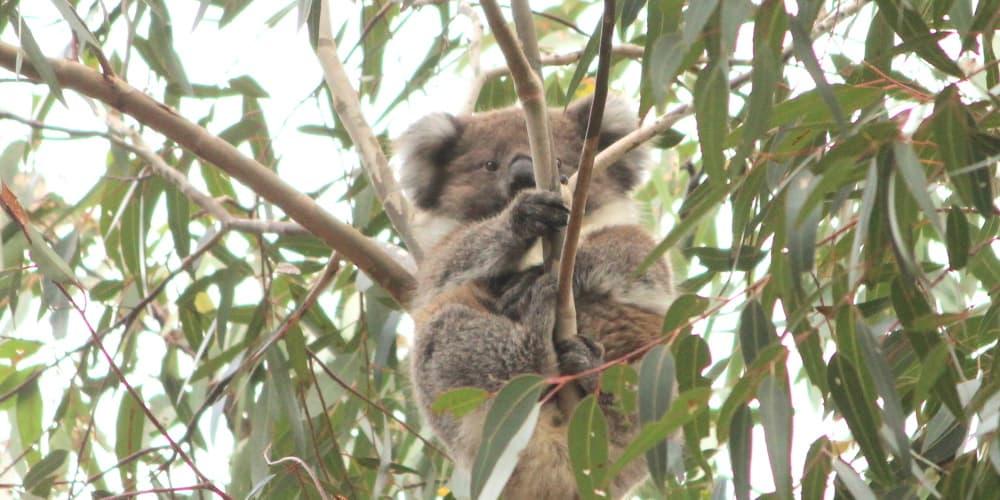 koala joey 2020