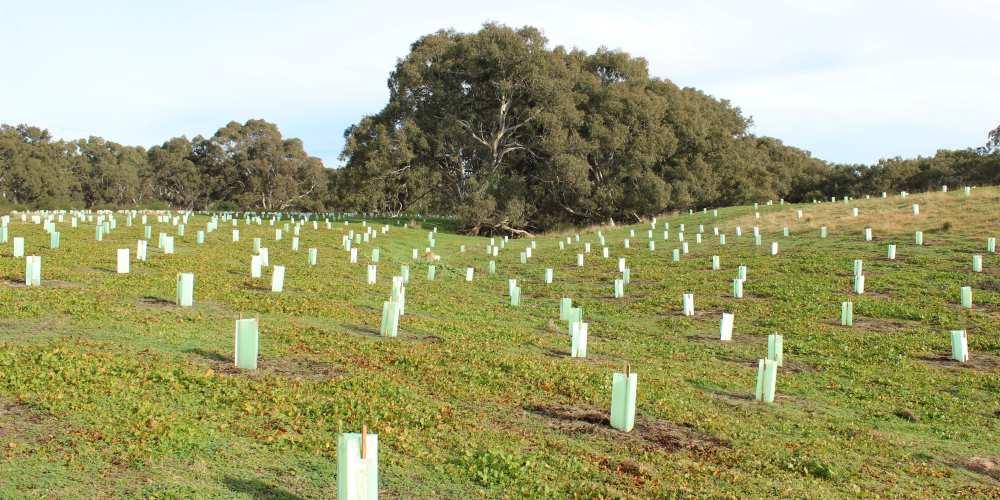 eucalyptus trees planted southern Australia