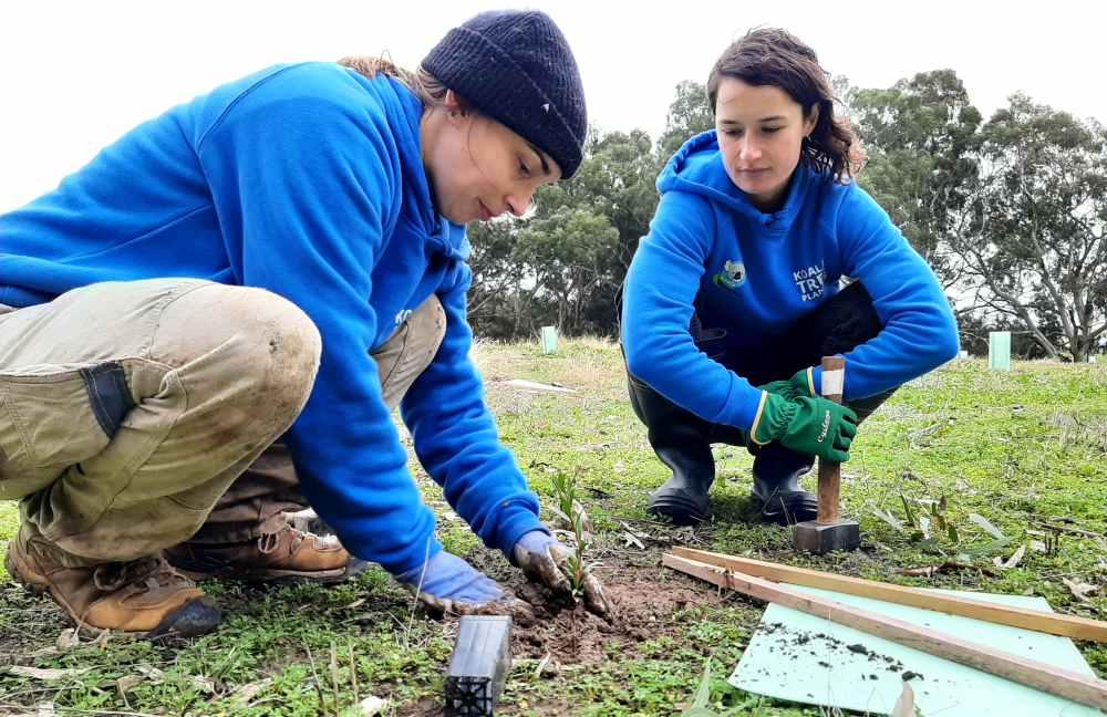 two women planting eucalyptus