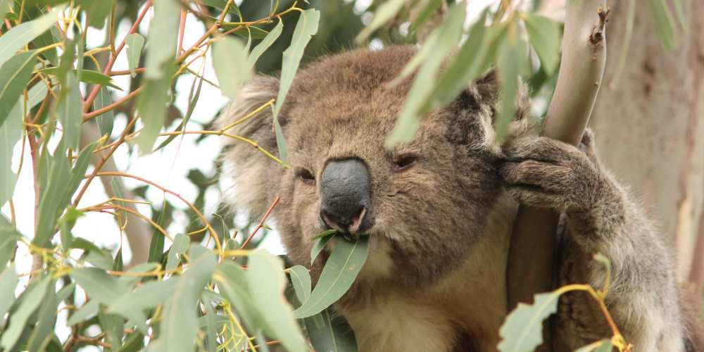 wild Koala eating with leaf in mouth