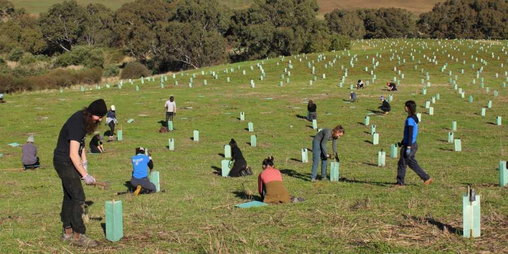 Koala community Organisation planting trees